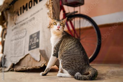 Fototapeta Tabby Cat Posing Looking Up