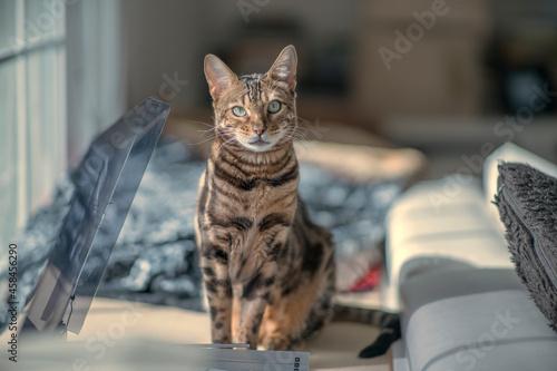 Fotografie, Obraz Mr Pickles The Bengal Cat