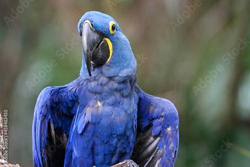 Fototapeta Hyacinth Macaw Close-up