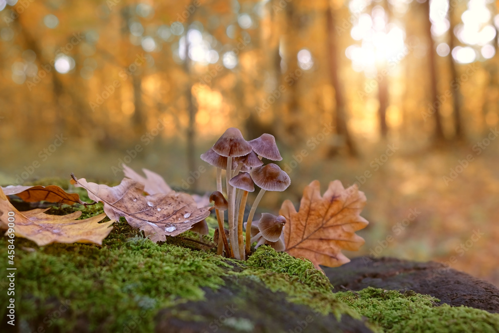 small mushrooms and fallen leaves autumn forest, natural background. atmosphere fall season image. Harvest, mushrooms picking concept