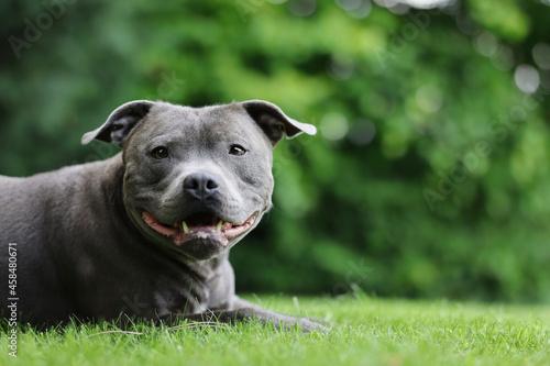 Portrait of Lying English Staffordshire Bull Terrier in Green Garden Fototapet