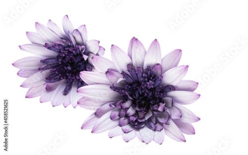 Fényképezés Osteospermum Daisy or Cape Daisy Flower Isolated