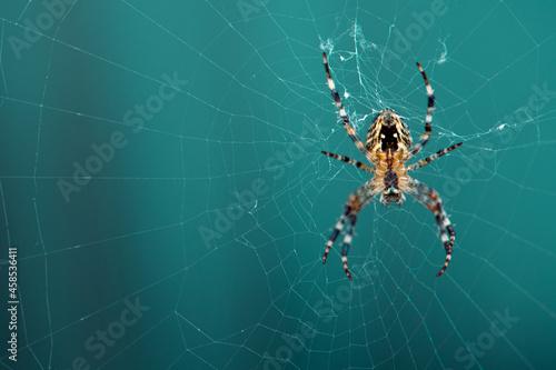 Fototapeta Spinne hängend am Spinnennetz