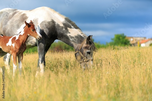 Murais de parede Horse chils and mother horse her beautiful foal on a field