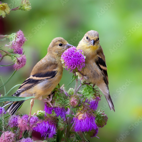 Goldfinches on flowers Fototapet