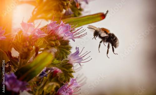 Obraz na plátně A fluffy bee feasting on nectar from an Echium pininana