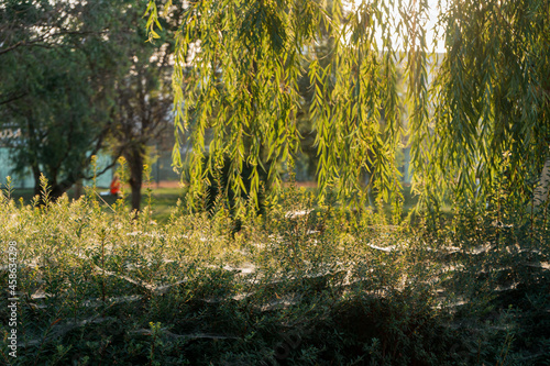 Canvas-taulu Green leaves of a weeping willow on a blurred background in the park
