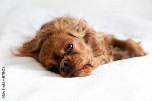 Fototapeta Cavalier spaniel napping on bed