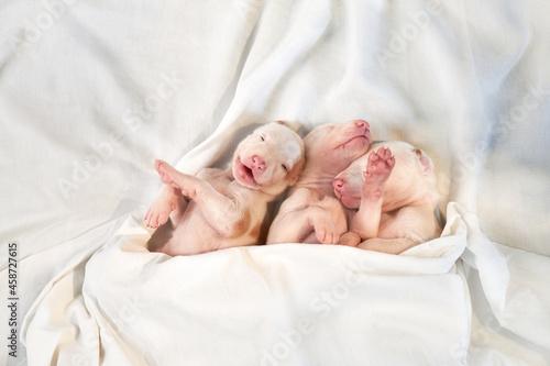 Canvastavla sweet Newborn puppies sleeping on bed
