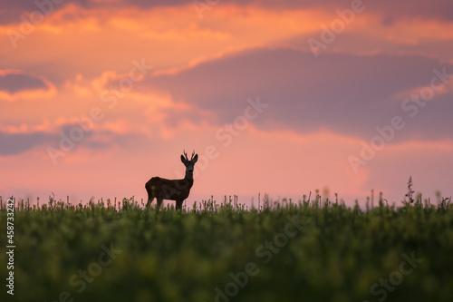 Obraz na plátně Wild roe deer (capreolus capreolus) during amazing sunrise in wild nature, in ru