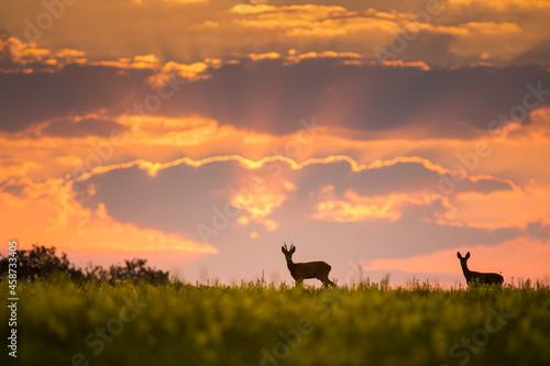 Fototapeta Wild roe deer (capreolus capreolus) during amazing sunrise in wild nature, in ru