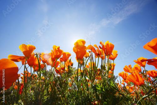 Obraz na plátně california poppy