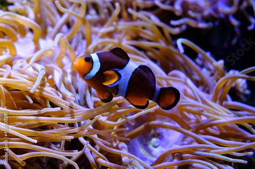Fotografiet Clownfish