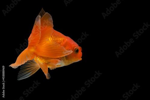 Fototapeta Goldfish in the background black