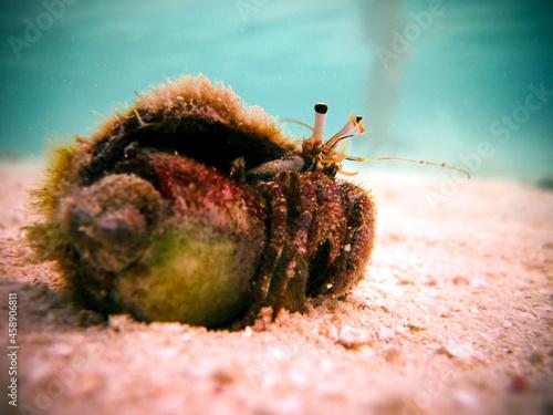 Fotografie, Obraz Paguroidea - Hermit crab in a conus shell