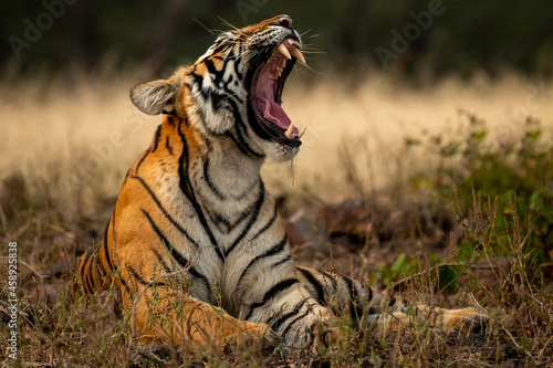 Foto angry wild royal bengal female tiger yawing with long canines in cold winter sea