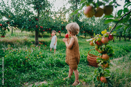 Fotografie, Obraz Cute little toddler boys picking up and eating ripe red apples