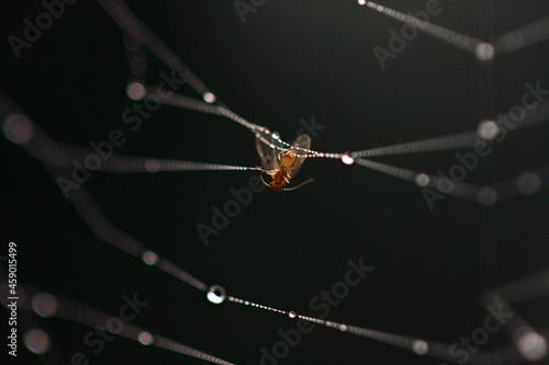 Fototapeta insecte pris dans une toile d'araignée