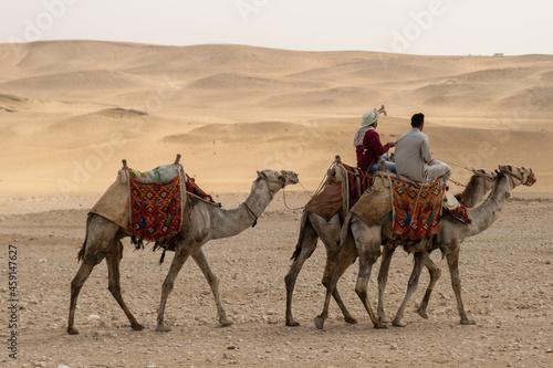 Fotografering camels in the desert
