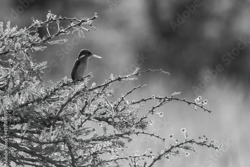 Canvas Print Mono malachite kingfisher on thornbush beak glowing
