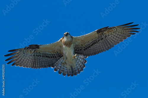A fledgling osprey takes its first flight - checking its wings with little jumps Fototapete