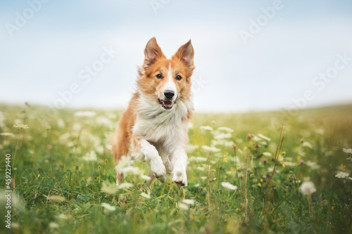 Red border collie dog running in a meadow Fotobehang