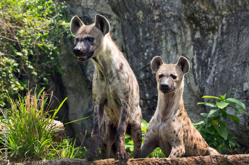 Canvastavla Spotted hyena in the wild nature.