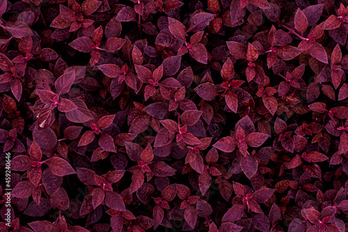 Obraz na plátně closeup nature view of purple leaves background, dark nature concept