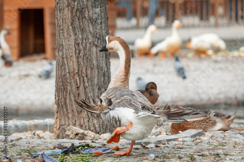 Fotografering Beautiful domestic swan goose also know as Anser Cygnoides standing on one leg in Kugulu Park in Ankara