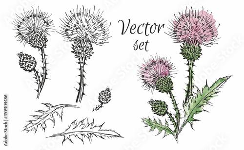 Fotografie, Obraz Set of vector illustrations of thistle