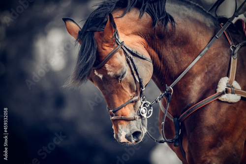 Fotografie, Tablou Portrait of a sports horse in the bridle in the arena.