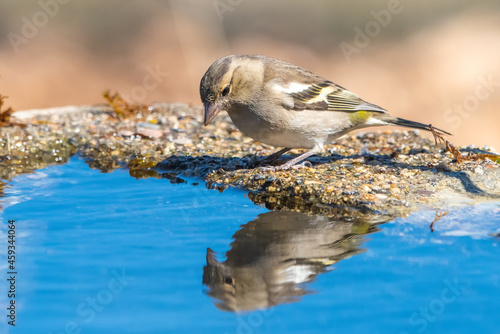 Canvastavla İspinoz » Common Chaffinch » Fringilla coelebs