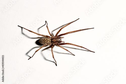 Slika na platnu Predatory spider isolated on white background