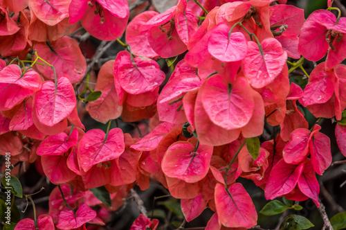 Macro closeup of pink bougainvillea flower with petals blooming in a garden Fototapet