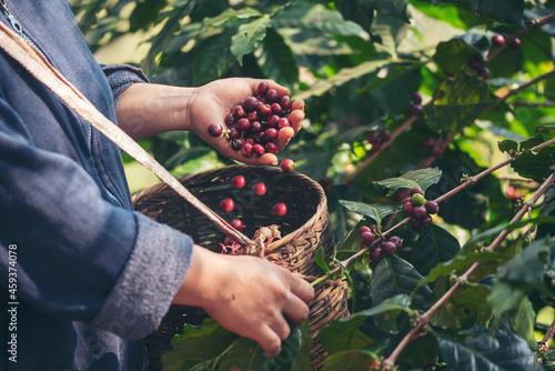 Fotografiet Man Hands harvest coffee bean ripe Red berries plant fresh seed coffee tree growth in green eco organic farm