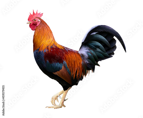 Canvas Print Colorful free range male rooster isolated on white background with clipping path