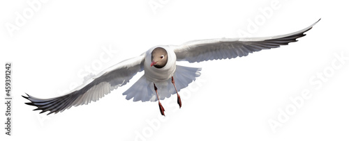 Canvas Print small black-head seagull fast direct flight