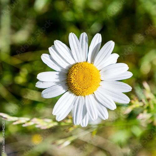 Vászonkép daisy flower grows at the wild flower meadow