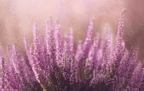 Kwiaty Wrzosy