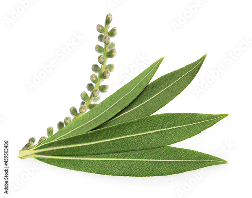 Tea tree, Melaleuca twig with dried leaves and seeds isolated on white background Fototapet