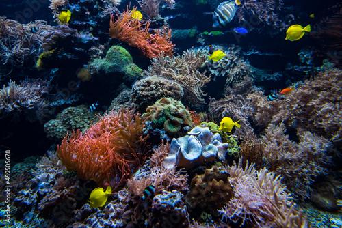 Fotografia, Obraz Coral colony and coral fish.  Underwater view