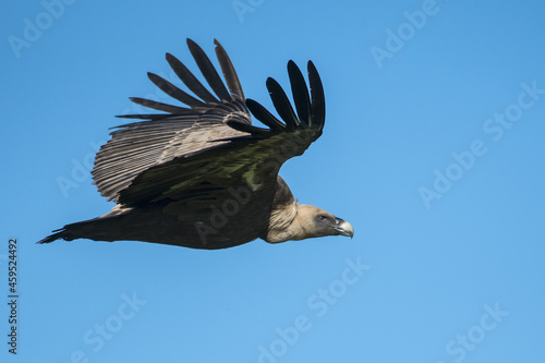 Slika na platnu avvoltoio grifone