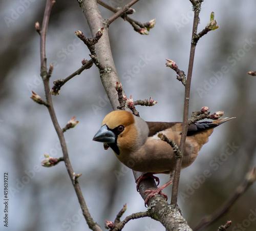 Fotografiet grosbeak hawfinch on branch