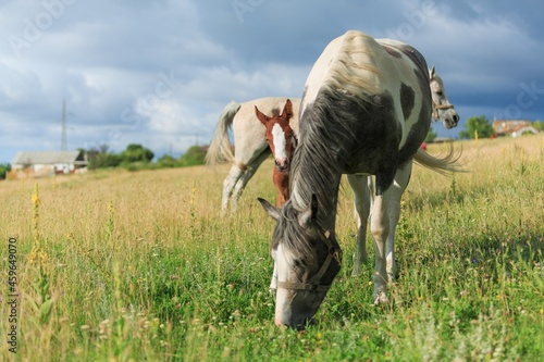 Fotografia Horse chils and mother horse her beautiful foal on a field