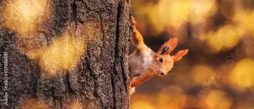 Obraz na plátně Squirrel in the autumn park. Red gray pet portrait close up