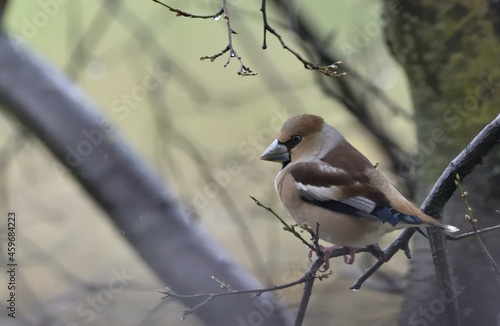 Canvastavla hawfinch perched on a branch
