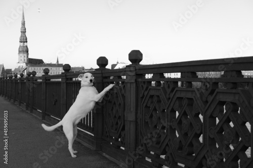 Wallpaper Mural Black and white photo of a mongrel dog standing on a stone bridge over the Daugava river against the background of St
