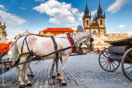 Canvas Beautiful team of white horses with carriage at market square in Prague at background of cathedral