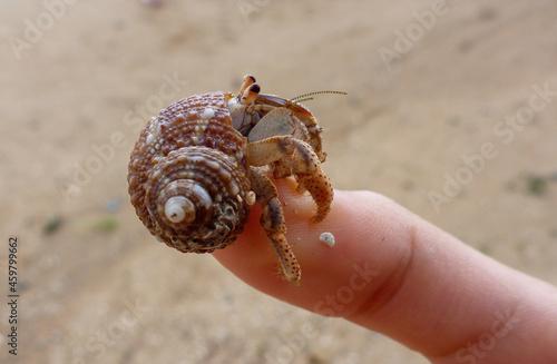 Obraz na plátně hermit crab on the top of the finger