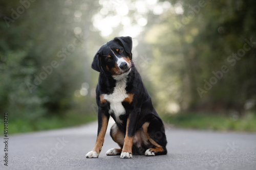 Fotografiet Appenzeller mountain dog sitting on the ground